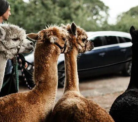 Lama- und Alpakawanderungen