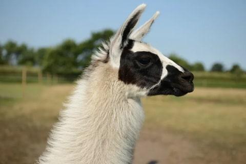 Tiere Lamas Helene