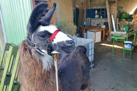 Tiere Lamas Miss Marple